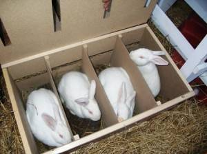 Разведение декоративных кроликов в домашних условиях - как бизнес