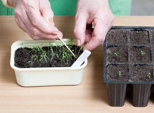 Яркая и эффектная петуния у Вас дома — особенности выращивания
