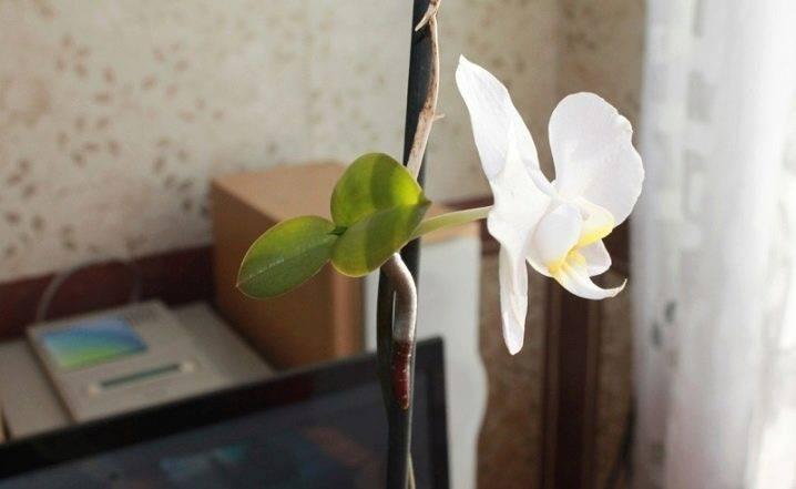 Как посадить детку орхидеи в домашних условиях: каким образом правильно отделить отросток, который образовался на цветоносе и переселить его в подходящий горшок? selo.guru — интернет портал о сельском хозяйстве