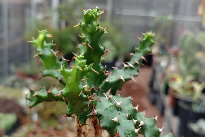 Молочай окаймленный (эуфорбия маргината) — как вырастить из семян в своем саду?