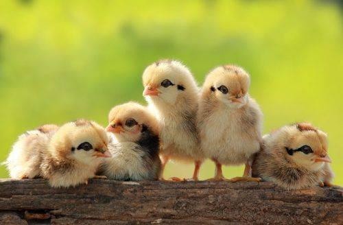 Как ухаживать за цыплятами в домашних условиях и кормление с первых дней жизни на видео