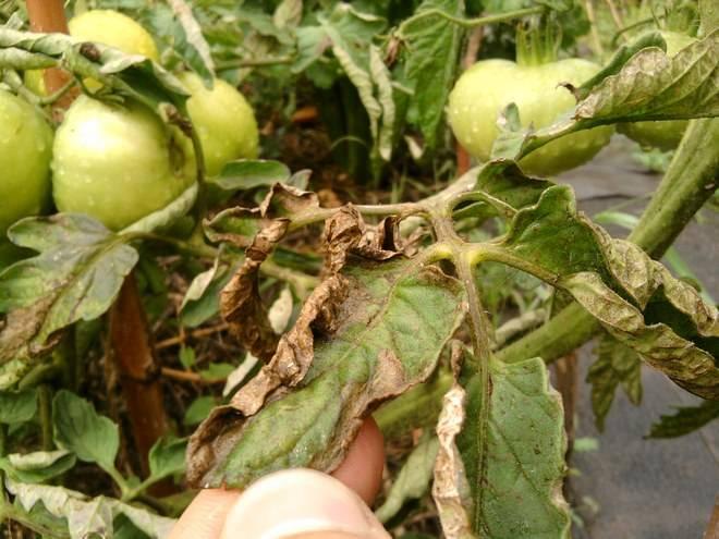 Йод от фитофторы на томатах: обработка помидоров, теплицы, грунта, приготовление раствора с молоком, древесной золой