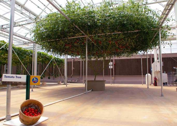 Как вырастить томатное дерево в условиях открытого грунта