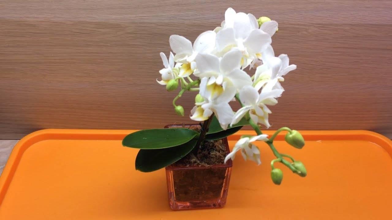 Орхидея после покупки — уход в домашних условиях