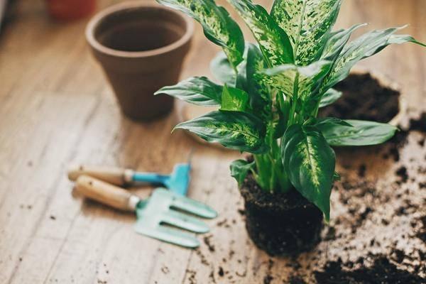 Уход в домашних условиях за диффенбахией — почему желтеют листья
