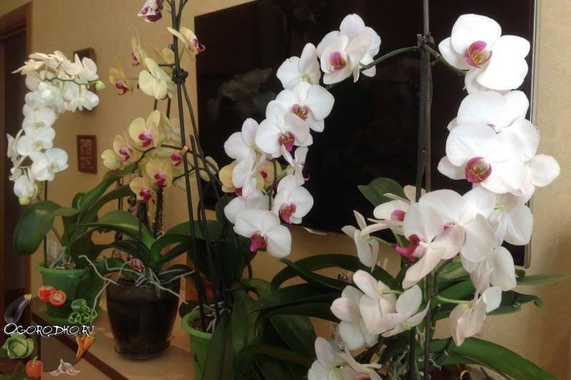 Основные причины, почему орхидея не цветет, а растут только листья и корни