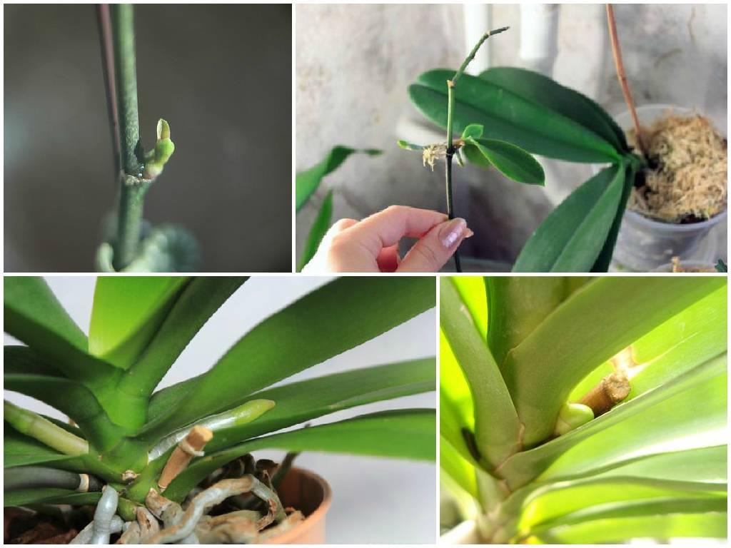 Почему не цветет орхидея в домашних условиях и что делать?
