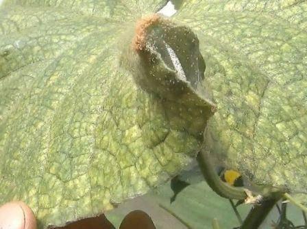 Борьба с паутинными клещами в теплице на огурцах