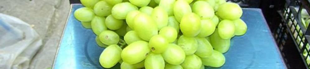 """Сорт винограда """"ландыш"""""""