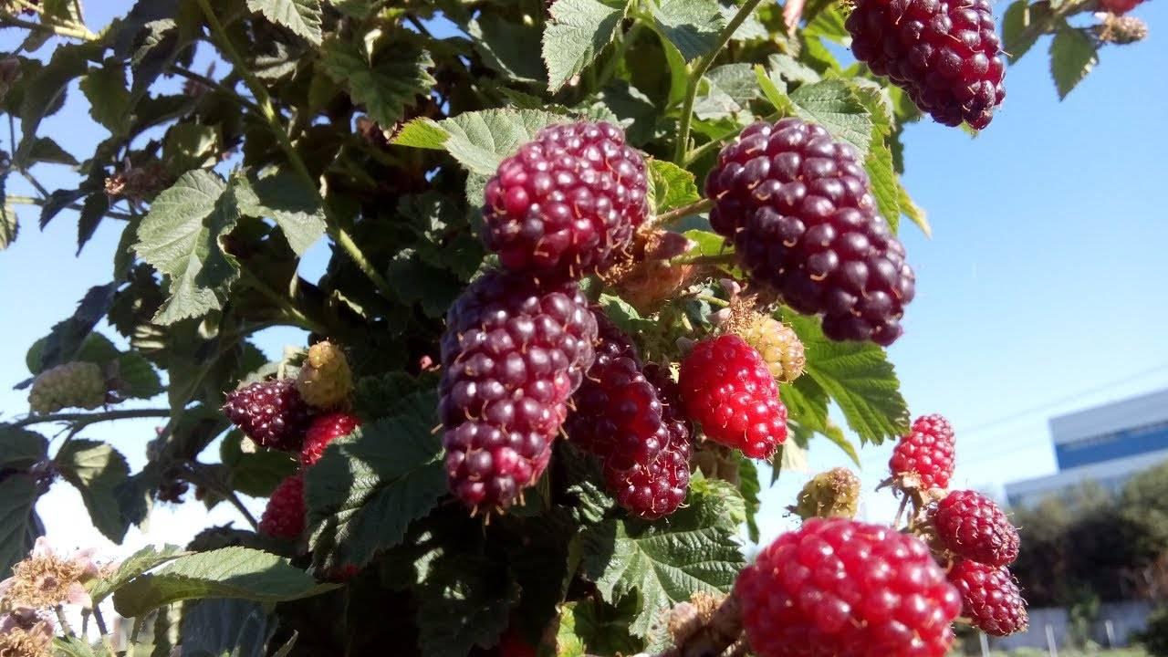 Ежемалина: выращивание, посадка и уход, обрезка