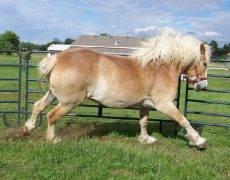 Уэльский пони — характеристика и фото породы