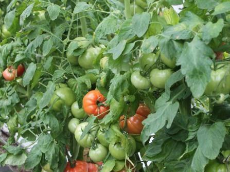 ✅ томаты жируют в теплице: что делать, чем и как остановить жирование - tehnomir32.ru