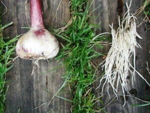 Посадка чеснока весной в открытый грунт: когда и как правильно посадить, инструкция