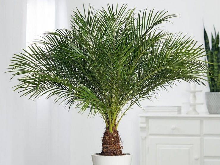 Финиковая пальма. уход, полив, освещение. | floplants. о комнатных растениях