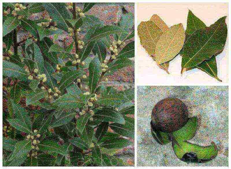 Выращивание лаврового дерева | cельхозпортал