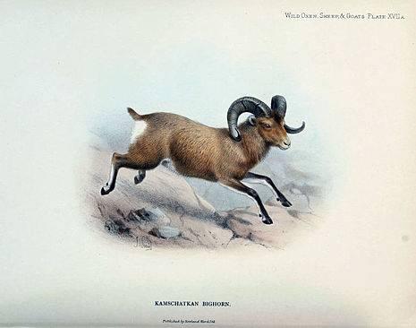 Снежный баран — википедия