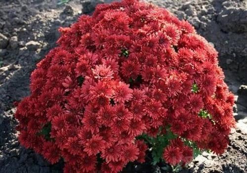 Как сохранить хризантемы зимой не выкапывая из грунта