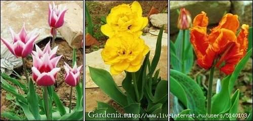 Советы по выращиванию тюльпанов
