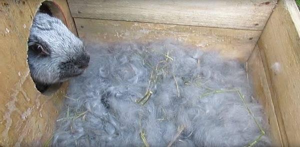 Почему крольчиха не делает гнездо перед родами