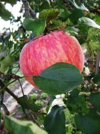Яблоня малиновка (суйслепское): описание, фото, отзывы