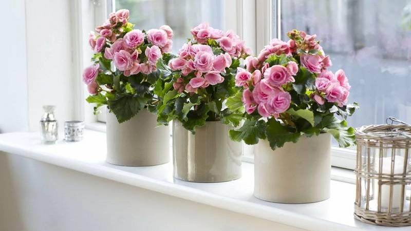 Комнатные неприхотливые растения, цветущие круглый год