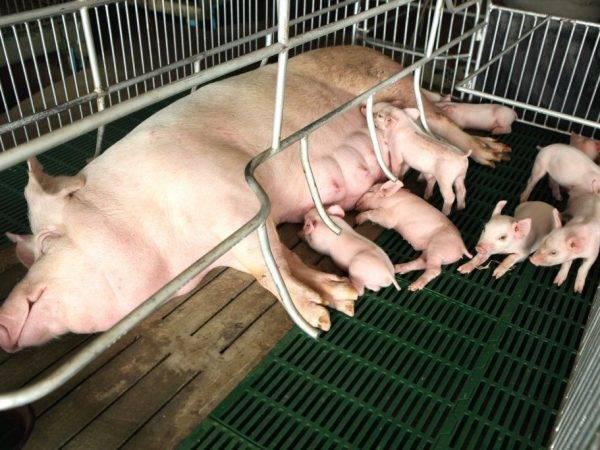 Плюсы и минусы премиксов для свиней, состав и лучшие производители
