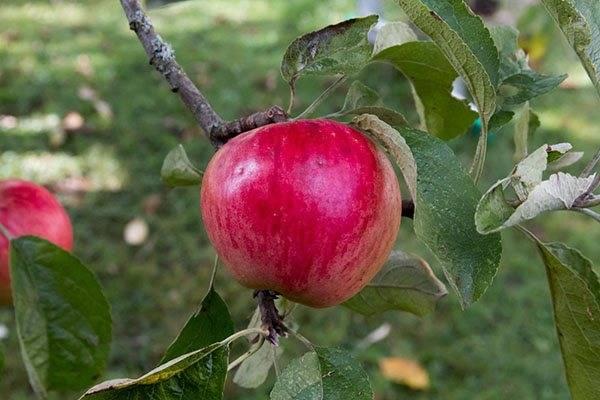 Сортовые особенности яблони Услада