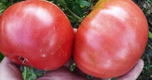 Томат розовый | описание и характеристика 35 лучших сортов | фото +отзывы