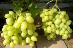 Виноград восторг: посадка и уход + описания и характеристики разновидностей сорта (белый, красный, черный, оригинальный)