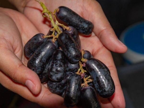 Виноград без косточек: 15 популярных сортов кишмиша