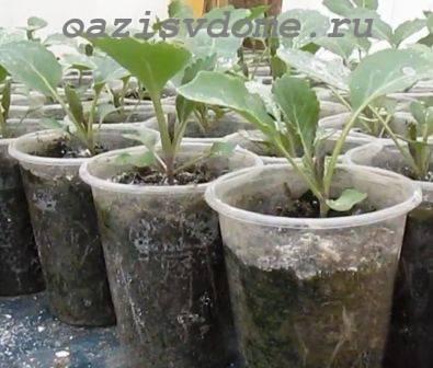 Рассада капусты пикировка | вырасти сад!