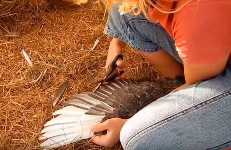 Как подрезать уткам крылья: назначение, причины, необходимые инструменты и инструкция