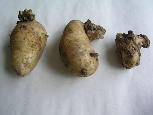 Грибковые заболевания картофеля, рак картофеля фото и описание, фомоз картофеля |
