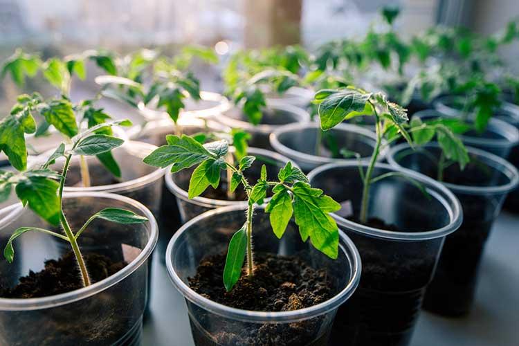 На какую глубину сажать семена помидор? - огород, сад, балкон - медиаплатформа миртесен