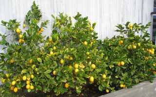 Лимон дикий