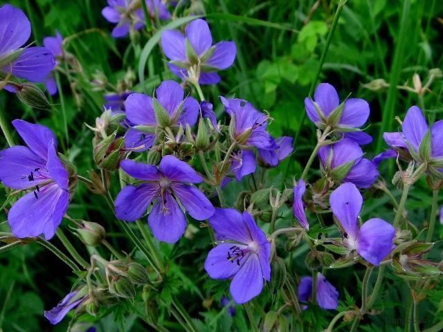 Какие цветы можно посадить в тени: красивые однолетники и многолетники