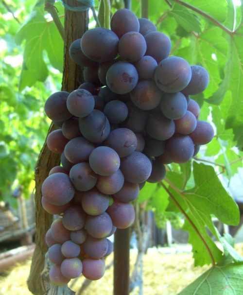 Год 2012. формы павловского, 1 часть. | блог игоря заики о виноградарстве и авторском виноделии