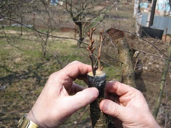 Прививка деревьев: особенности подготовки и необходимый инвентарь