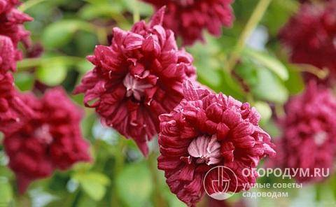 Клематис пурпуреа плена элеганс: описание сорта и его характеристика, размер цветка, фото