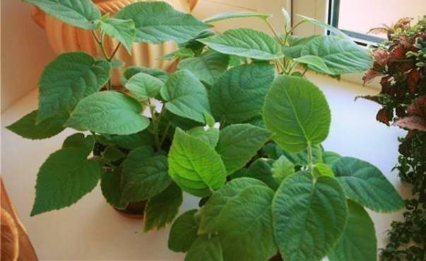 Как самостоятельно вырастить фрукты киви на подоконнике