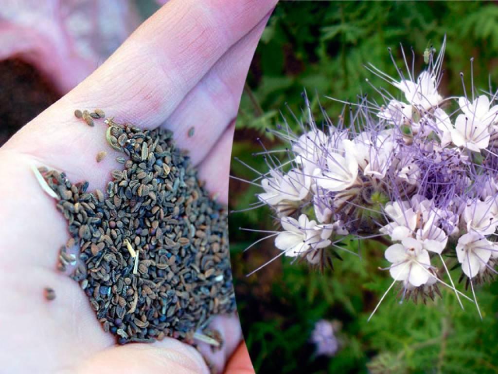 Сидерат фацелия: как и когда сеять весной, когда запахивать, полезные свойства