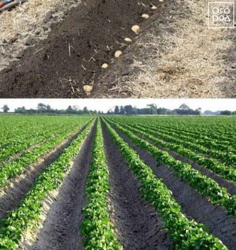 Посадка картофеля в гребни вручную и с помощью мотоблока: фото и видео инструкция