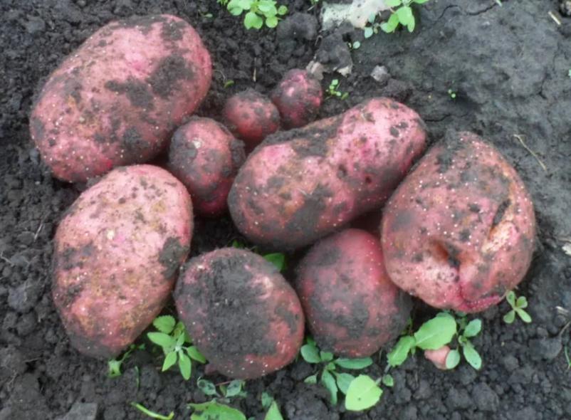 Картофель любава: описание сорта, фото, отзывы о вкусовых качествах и сроках созревания, особенности хранения и выращивания, а также характеристика урожайности