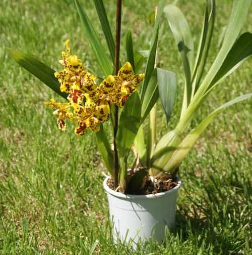 Орхидея камбрия: пересадка, выращивание и уход