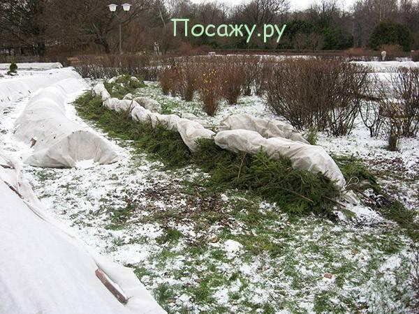 Как укрыть плетистые розы на зиму: фото и видео, укрывать ли в средней полосе