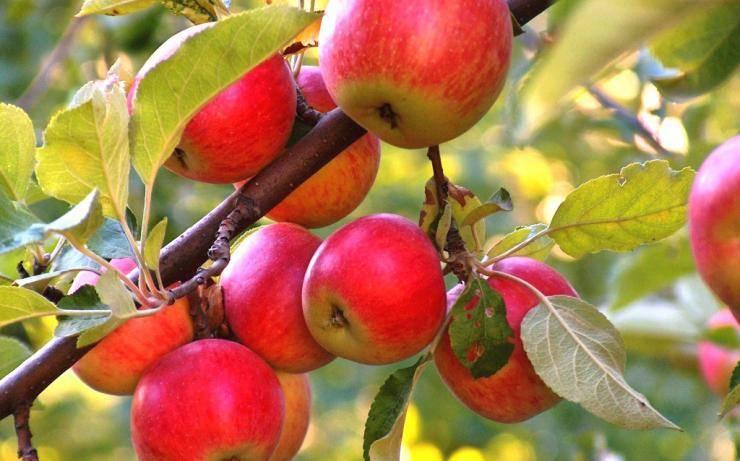 Как обрезать сибирские яблони осенью, чтобы был хороший урожай: инструкция для начинающих в картинках пошагово