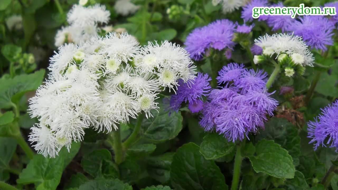 Выращивание агератума  (28 фото): посадка и уход в открытом грунте. как сажать семена? выращивание комнатных цветов в домашних условиях. можно ли сеять под зиму?