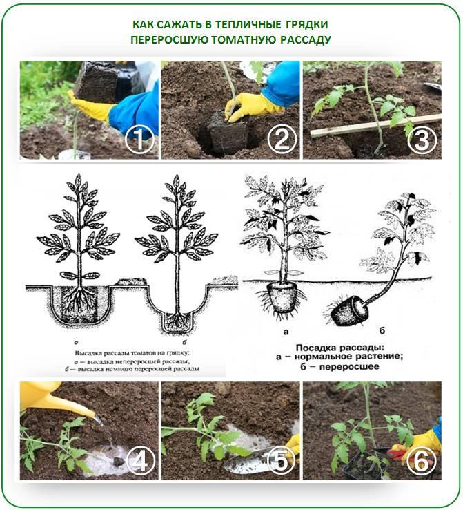Как посадить переросшую рассаду томатов - пошаговая инструкция для начинающих (115 фото + видео)