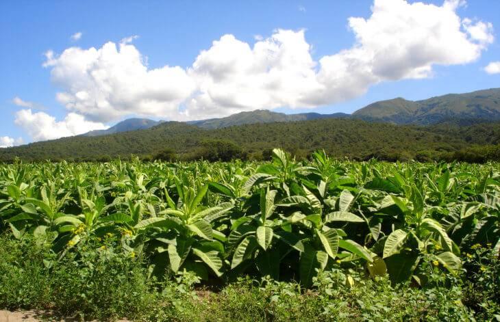 Выращивание табака в домашних условиях: его сорта, как вырастить и ухаживать за ним