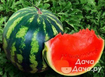 Сорт арбуза холодок: фото и описание